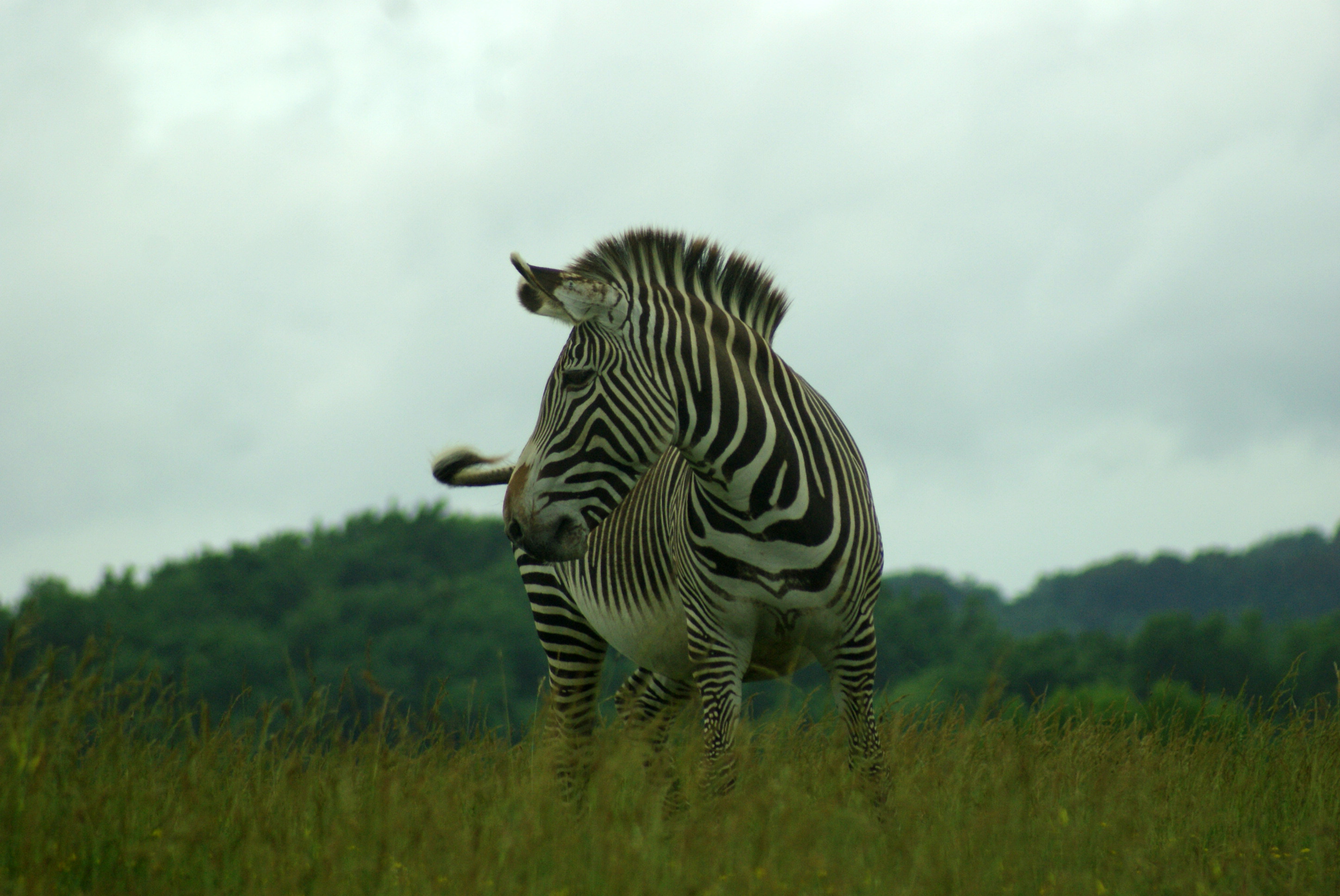 A Grevy's zebra roams on June 6, 2015 at The Wilds, a non-profit safari park and conservation center in Cumberland, Ohio. Less than 3,000 Grevy's zebras remain in the wild.