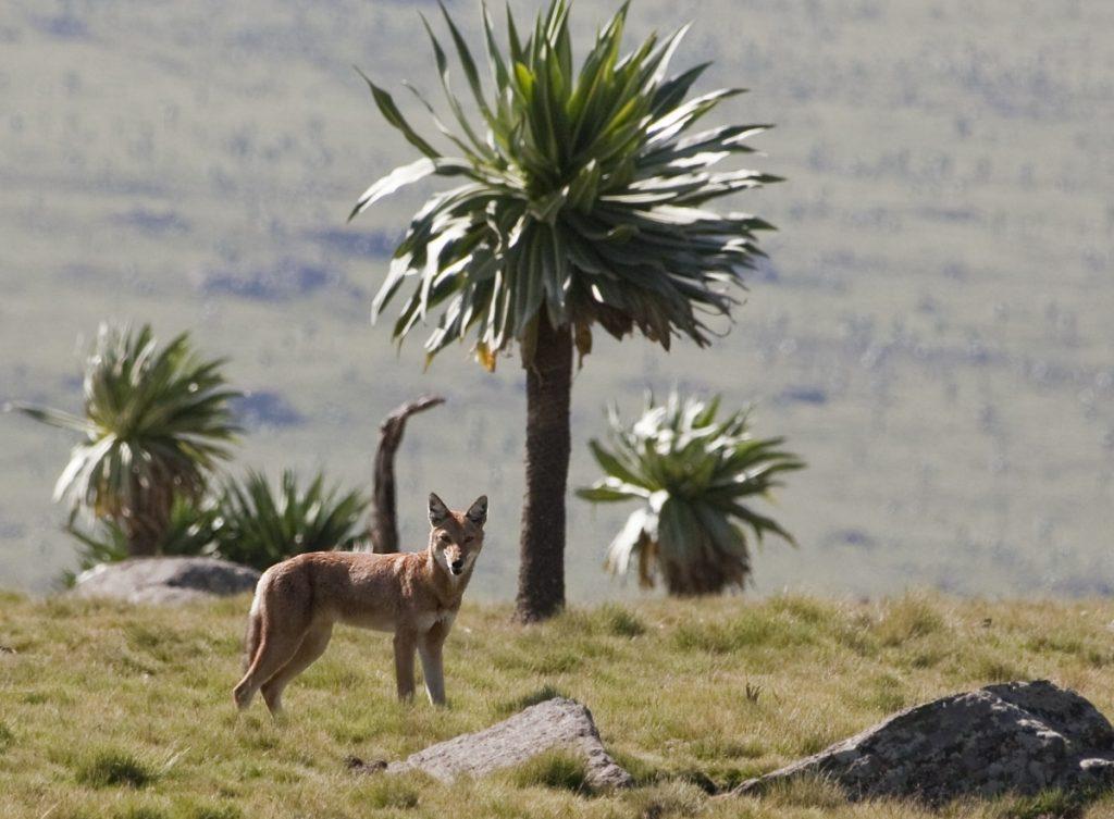 Canis_simensis_-Simien_Mountains,_Ethiopia-8_0