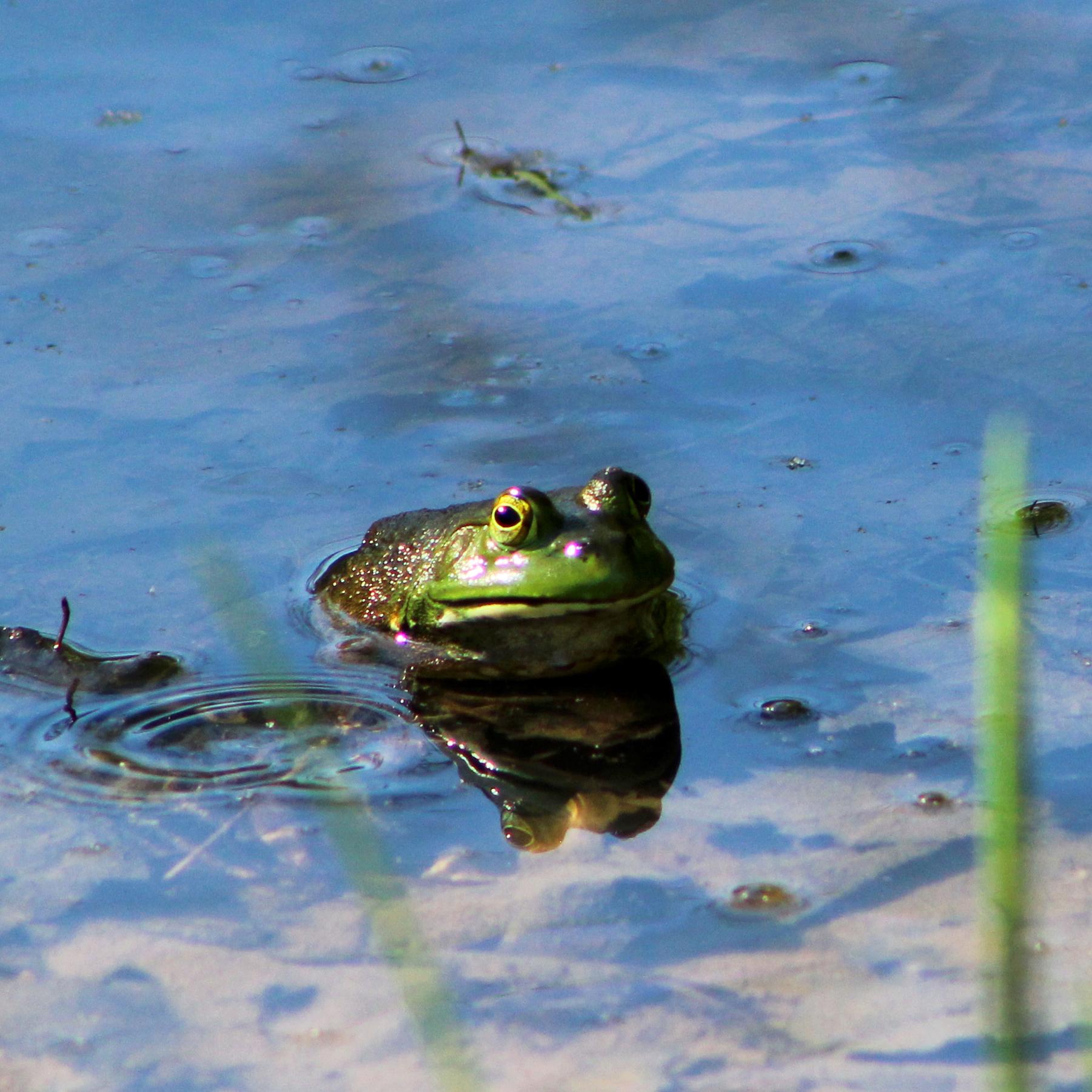 An American bullfrog (Lithobates catesbeianus) at Bernheim Forest in Louisville, Kentucky. June 5, 2021.
