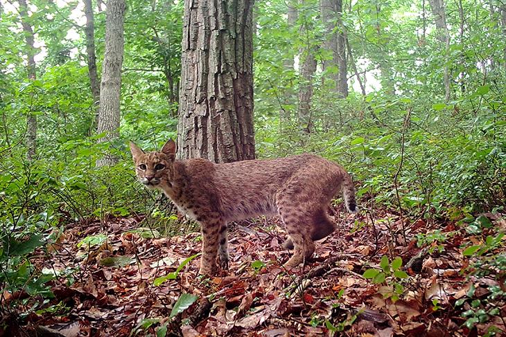 A bobcat in Ohio