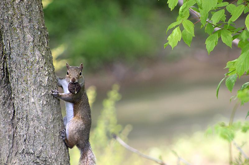 An eastern gray squirrel (Sciurus carolinensis) in Marysville, Ohio. May 15, 2021.