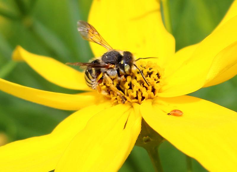 An oblong wool carder bee (Anthidium oblongatum) on a coreopsis plant.